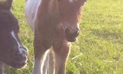 Miniature/ small pony colt for sale. Very handsome pony. Will make a great childrens pony. Ready to go to his new home.