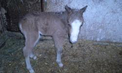 9 month old miniature stud colt for sale.  Born March 29, 2011. Posted is a picture taken at birth, I will post more recent pictures later Please contact 519-533-8240 for more information