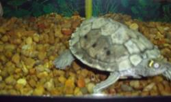 I have a Mississippi Map Turtle for sale. He comes with 30 gallon aquarium,filter,heater,rocks and decorations.