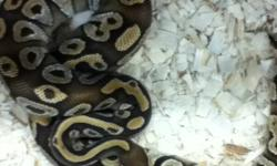 A male ball python apporx. 1000 grams. This ad was posted with the Kijiji Classifieds app.
