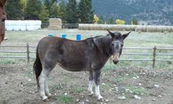 Julie is a mature molly mule that can make a great pasture pal for your animal, or a guardian animal for your sheep or flock since coyotes and other preditors seem to realize that mules don't want them harming anyone in there herd.