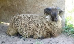 This lovely Icelandic ram lamb was born in June. He's pure moorit (brown), the least common colour because it is a recessive gene. Quality fleece. His father's fleece won a first place ribbon at the Royal in 2010; his full brother's won third place in