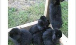 I have (16) 7 Week Old Baby Holland Lop Bunnies For Sale at $40 each.   I need these babies moved out by November 5th 2011 to make room for the next litters lined up.   Call 705-722-6123 and ask for Josh.