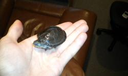 turtle is still a baby, i am asking $150 no less firm on price, selling turtle because its eating my clown loaches. i was told the turtles a vegetarian before i bought it. MUST GO turtles living in my friends tank right now with a turtle the same size and