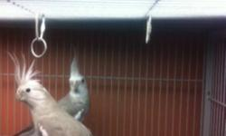 Must go this weekend, as we are no longer breeding birds. Breeding pair of White Face Cockatiels.  Not hand tame.  Proven breeders, have white face and albino babies.