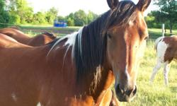 6 year old Reg. chestnut paint mare great for trail rides has been ridden on roads, been to Tim's McDonalds and chips stands, easy to load good for farrier up to date on shot asking $2500.00, Also 3 year old bay pinto, has been saddled but not ridden