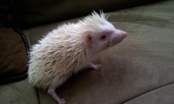 I have 3 baby hedgehogs in need of a good home asap!! All three are male and albino.  They are super cute, very friendly and i'm desperate to find them a good home. I am asking $100 per baby O.B.O.   I'm desperate to get them into a good home, I do not