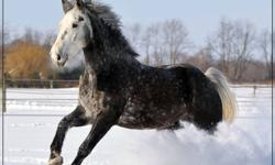 Mature trainer with 35 years experience, reliable, insured and with references.  I offer training or teaching you how to train at your location based on consistent and patient natural training for all types of horses or breeds.  I offer several options or
