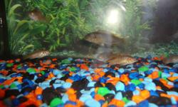 Ndumbi red top SOLD /and hongi cichlids http://www.african-cichlid.com/Hongi.htm http://www.borstein.info/profiles/malawi/pseudotropheusperspicaxo.html ALL for need gone asap /can deliver