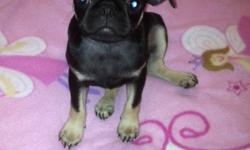 3 female pugs looking for forever homes. Vet checked and ready to go. Playful, energetic family raised puppies. This ad was posted with the Kijiji Classifieds app.
