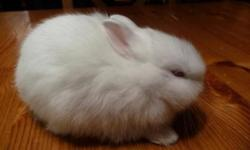 NETHERLAND DWARF BABY RABBIT, VERY SMALL, LOTS OF CHARACTER, THIS ADVERT IS FOR A RED EYED WHITE, GREAT WITH SMALL CHILDREN. RABBIT $30.00 (PEDIGREE + $10.00 EXTRA), OTHER COLOURS AVAILABLE, SEE MY OTHER ADVERTS