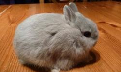 NETHERLAND DWARF BABY RABBIT, VERY SMALL, LOTS OF CHARACTER, THIS ADVERT IS FOR A GREY/CHINCHILLA, GREAT WITH SMALL CHILDREN. RABBIT $30.00 (PEDIGREE + $10.00 EXTRA), OTHER COLOURS AVAILABLE, SEE MY OTHER ADVERTS