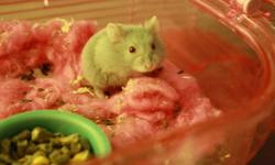Two female hamsters for sale! one all grey one partial grey with partial white.(The first pic is the full grey one, she looks a bit cream because of the lights in the house.)The cream color girl we will keep for ourselves. Both cute and friendly, just