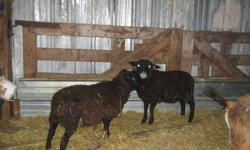 NICE GOATS AND LAMBS FOR SALE, PRICE FROM $130 TO $150 EACH, CALL AT 604-7167650