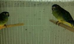 Proven Breeders Normal Green Turquoisine Birds for Sale. 1 Male and 3 Females.