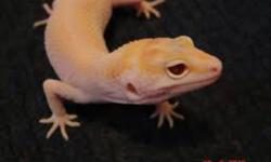 Im looking for a proven Male Nova leopard gecko any age but must be male Please let me know prices and respond with location and price Thank you May also be interested in other Morphs , mack raptor, raptors ,dreamsickle.etc This ad was posted with the