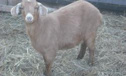 2 stocky 8 months old does Nubian x Boer $200 each 3 very nice 5 ½ month doelings Nubian x Boer $175 each Nice goats good feet, good health NOT exposed to a buck yet. Call Vern 616-928-1067 or email for more info.