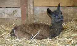 Hello   We have a baby llama Just about to be weaned by his mama llama Pyjama Llama   Was born here and raised with goats that travel 15 acres each day and his mama Will be perfect for protection / guard animal & young enough for you to shape to your