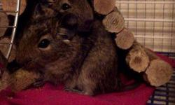 I have 2 male Degus that would love a new home. I just don't have the time that I thought I had. They are roughly 8 months old, well cared for and very healthy. One is shy but the other is courageous and likes to explore. if the shy brother sees the other