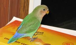 """My 13 year old son's lovebird had some babies in October. He has been handling them daily since before they were weaned so are """"hand tamed"""". He also put leg bands on them. They will be excellent pets as they are """"family raised"""" to """"step up"""" onto hand &"""