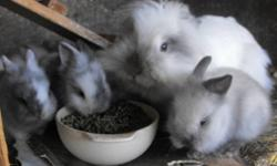 Purebread Lionhead baby bunny, cute as can be, very friendly, family raised.