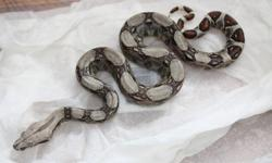 I have several snakes that I am looking to sell. I have to downsize my collection of animals as my wife and I are going to start a family and I won't have time for them all. I am looking to sell 2 young boas, 1 breeding pair of boas and 1 baby Coastal