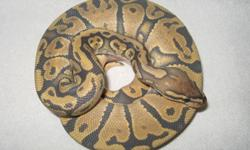 '09 male Orange Ghost ball python, 825grams. Eating f/t rats. No trades.