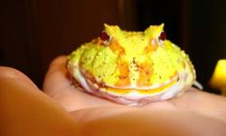 I have an albino pac man frog and a tomato frog, both still have some growing to do. They can be sold seperately or together and each comes with a plastic sterilite tub that includes an attached heating pad.