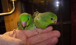 hand raised, friendly, pacific parrotlets (one of the worlds smallest true parrots) les & Janet 905-296-1334