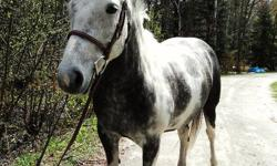 Ponie is a six year old, 15 hh Paint/Draft Pony mare - clips, ties, trailers, stands for vet and farrier, no vices, has tons of personality, fairly good ground manners but can be a little pushy. Very easy keeper. Would make a great little hunter for an
