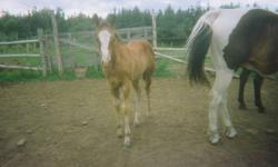 this lil filly is very friendly and love to be around people. she is 8 months now and readly to go to a new home.sir is Pride of Lancer---- Dam is Shutdown Whipple . this filly will make a great halter horse for any 4h show or any show at out there.