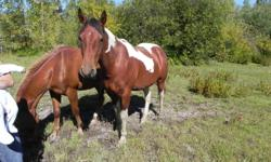 Picture 1: Stormy is a 6 year old paint gelding broke to ride, very friendly and easy to handle. $1000 Picture 2: Shadow is an 8 year old paint mare, was started as a 2 year old but never finished, she's a little skiddish but will come around with time.
