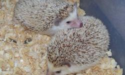 I have a pair of adult female African pygmy hedgehogs for sale. Brownie & Smokey are very friendly girls, well handled. Looking for a loving pet home. They live together (mother & daughter), will only sell as a pair. Will include tote & their water