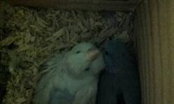 Pair of Pastel Blue Parrotlet Proven Breeding Pair  for sale.
