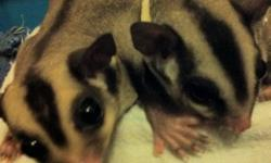 Pair of sugar gliders (male and female) with in-pouch twins. Adults are not hand tamed. I rescued them and was beginning the taming process when momma got pregnant. I wish I could keep them but I just went back to school and don't have the time to commit