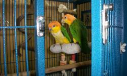 Beautiful Pair with DNA and banded. Male is 9 months old and female is 6 months. Both are very friendly and playful too.