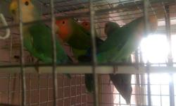 Peach face Lovebirds. Not tame. Price starts at $40 each All birds are healthy and complete feathers 1 to 3 years old. Good for breeding. They do bite if you try to hold them. available.Pair/ Singles & Males/Females [Peach face $40 each 4 other mutation