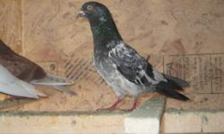 Pure Bred Pakistani Pigeons For Sale. Please call Aman at 416 845 9479.