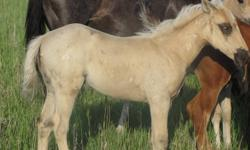 Born May of 2011 to a Registered Quarter Horse (mom) and a Non-Registered Quarter Horse (dad). He is a special colt to us as he was injured when he was only a few days old. He has since been healed up as he only has a few scares to show. He is a very