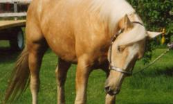 Beckys Golden Pride is a registered American Quarter Horse Assoc. and American Paint Horse approved palomino stallion. He stands 15.2hh.  He sires big colourful babies with sound minds and excellent confirmation.  This studs bloodlines are loaded with