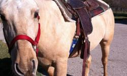 Seven year old palomino quarter horse. Needs a confident rider , because he is very responsive. Great with feet, being tied and trailering. Has done some 4 H and arena work. Would make a good barrel prospect. Has been used on trails and to herd cattle.