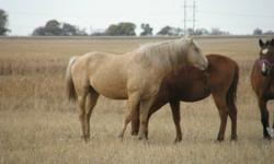 4 yr old palomino stud. this horse throws colour colts. dont have time for the horse since the kids r moving away from home. please email or call 306-384-0742