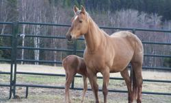 Beautiful palomino QH brood mare for sale. 16 years old Grand daughter of Mr Dry Doc amazing producer, has had a palomino filly and a sorrel colt for me. Im reducing the size of my herd so sadly she must be sold. She is open this year as i felt she needed
