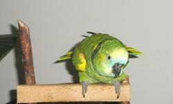 Amazon Parrot 1 year old. Very smart beautiful bird. Hand fed talking bird has a large vocabulary already.  Likes to be with people and on your shoulder and will talk to you all day.