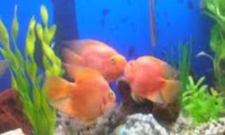 5 Parrot Fish for sale, young and healthy, range in size form 4-6 inches. $15 each. Will sell seperately
