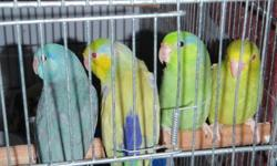 following parrotlets for sale:   male green fallow $80 female american yellow $100 male american white $125   please call 416-560-1718