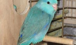 I have 2 pairs of parrotlets for sale first pair unrelated female Blue male green second pair both green. 2 years old and ready to breed Moving and must sell ASAP. Breeding cage included. Asking $200.00 for all. As well I have a breeding pair of
