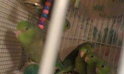 Baby Parrotlets for sale. Born Mid August/2011. We are looking for new homes.