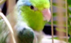 Breeding Pair of Parrotlets $150.00  -  Male is Blue and the Female is Yellow with Blue tips on her wings (PROVEN) - Age about 1 1/2 years old. Available Soon 4 Healthy Green Baby Parrotlets 2 Female and 2 Male are now out of the nest and in about 2 to 3