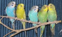 I'm looking for a pair of Budgies or Parakeet or any kind of parrots,preferably African Grey. If you are looking for a good home for your bird please let me know